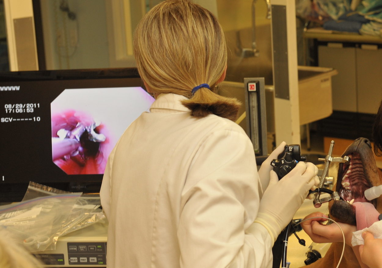 veterinary video endoscopy