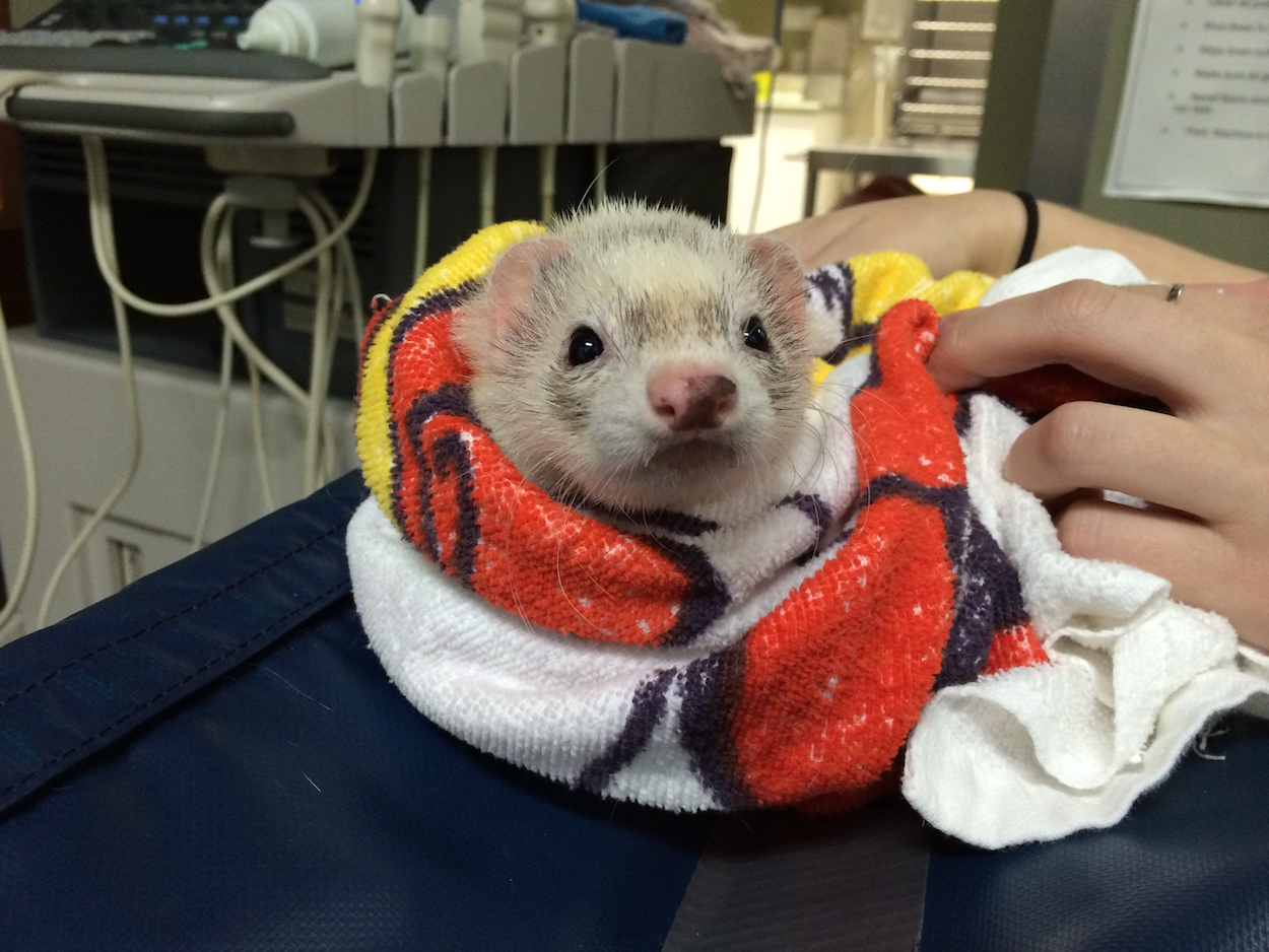 ferret at veterinary hospital